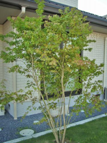 庭木 シンボルツリー