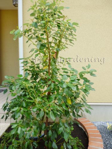 施工例画像:庭木 常緑樹 ロドレイア 植栽 庭木 常緑樹 ロドレイア この現場の施工例をもっと見