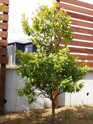 施工例画像:庭木 常緑樹 カラタネオガタマ 植栽 庭木 常緑樹 カラタネオガタマ 植栽 庭木 常
