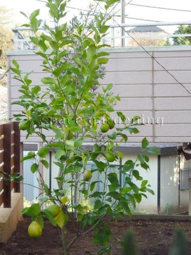 施工例画像:庭木 常緑樹 レモン  植栽 庭木 常緑樹 レモン この現場の施工例をもっと見るウッ